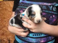 Blaze is a Blue Merle Male he was born 10/09/2015 He