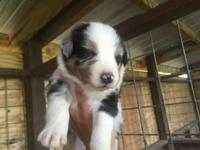 Blaze is a AKC Blue Merle Male with blue eyes he was