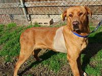 Blaze's story Blaze Male Labrador Retriever mix 63lbs