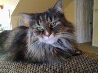 Beautiful Bliss is a 7-year old Maine Coon mix whose