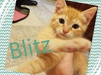 Blitz's story All of our kittens are in various foster