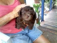 Wonderful pups 2 females available Come with fl