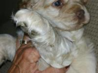 For sale!Taking deposit on blonde cocker spaniel puppy