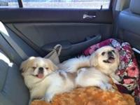 We have 1 male blonde pekingese puppies that were born