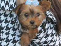 Teacup blonde yorkie. he is charting 3.5 pounds as