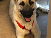 Blondie is a beautiful 70 lb girl who is super