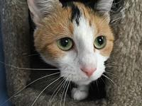 Blondie's story Blondie is a young adult calico cat.