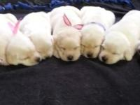 We are excited to announce a litter of yellow/white lab