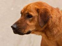 Bloodhound - Buddy - Medium - Adult - Male - Dog