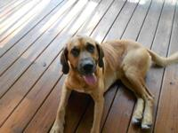 Bloodhound - Hank - Large - Adult - Male - Dog Hank is