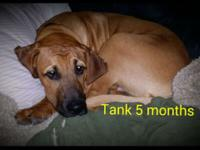 Tank is a Bloodhound Presa Canario Mastiff mix 5 months
