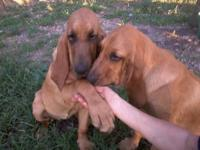 I HAVE ONE PURBRED BLOODHOUND PUP LEFT FORSALE ...I HAD