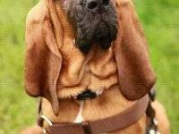 Beautiful Bloodhound babies... Born 5/7/12 4 Females /