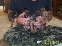 Two different litter of Bloodhound pups will be ready