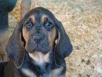 Bloodhound puppies, born 11/9/14, $600.00; 1st set of