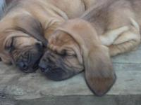 Papered Bloodhound puppy's ,born 3/5/15 1st shot's and