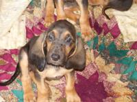 6 CUTE FEMALE PUREBRED  BLOODHOUND