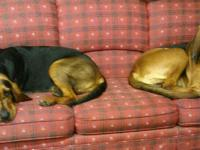 1 Female/ 4 Male Black and Tan CKC Bloodhound Puppies