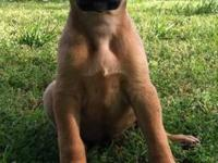 Bloodhound - Pixie - Large - Baby - Male - Dog Do you