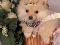 Animal Type: Dogs Breed: Pomeranian We have Champion