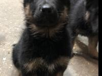 Hi! I'm Bloomers, a 12-week-old male shepherd mix. I am