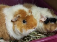 Blossom and Bubbles are two female guinea pigs that are