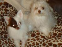 Meet Blossom & & Daisy, they are teacup mal-chi's