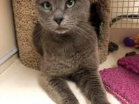 Blu, our beautiful Russian Blue kitty, has just arrived