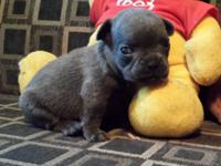 BLUE BUCK: $3550, AKC French Bulldog, Male, Solid Blue,