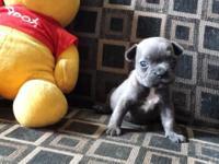 BLUE BUNNY: $3650, AKC French Bulldog, Female, Solid