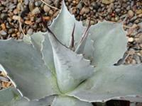 I have lots of hardy blue agave plants for sale from 8""