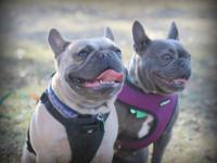 Now Available: Three healthy male AKC frenchie pups