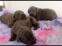 AKC Great Dane puppies available. 3 males, 2 females.