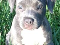 Blue American bully pitbull puppy. $500 firm. Only one