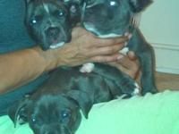 7 week old.blue bully pit pups.first set of shots.1