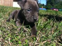 I'm selling a real 100 % blue American pit bull terrier