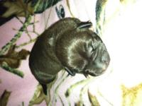 American pit bull terrier puppies. Born 12/8/12. Will