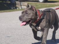 american bully style short super stocky and muscular