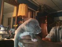 Blue american pitbull terriors . Well tempered great