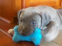 Solid blue pitbulls coming soon! taking reservations