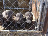 Three Males & One Female ADBA Blue American Pitbull