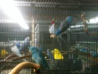 Readily available are two male blue parrotlets, hatched