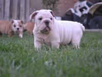 ENGLISH BULLDOG MALES LOOKING FOR A LOVING HOME TO GO