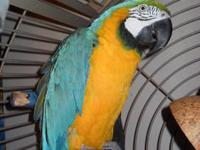 Our blue and gold macaw is getting too loud for our