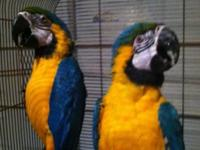 I have a proven pair of Blue and Gold Macaw, that will