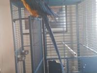 3 year old blue and gold Macaw. Very friendly with my