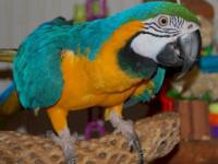 Blue and gold macaw, male talking, 18 months old,