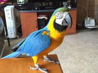 i have a female blue and gold macaw 2 yrs old fully