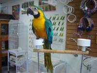 This Blue and Gold Macaw is still being hand fed as