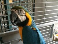 Blue and gold macaw, male talking, 18 months old ready